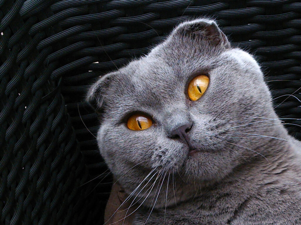Gato Scottish Fold: Información